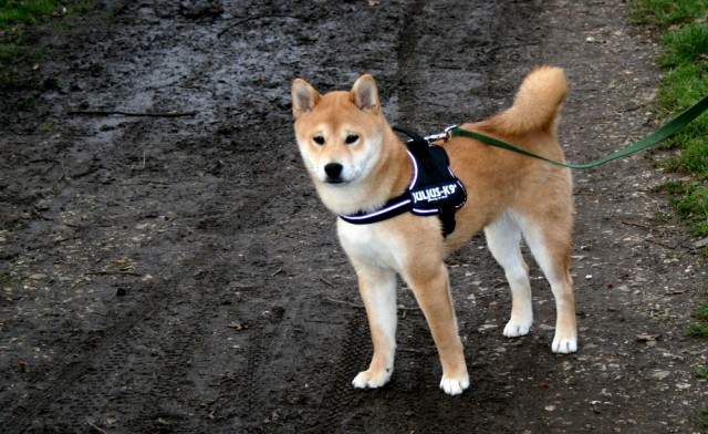 shiba_inu_fox_blogueuse_03