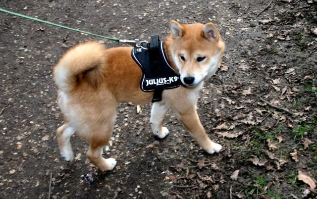 shiba_inu_fox_blogueuse_06