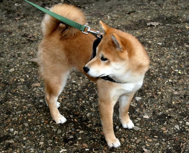 shiba_inu_fox_blogueuse_07