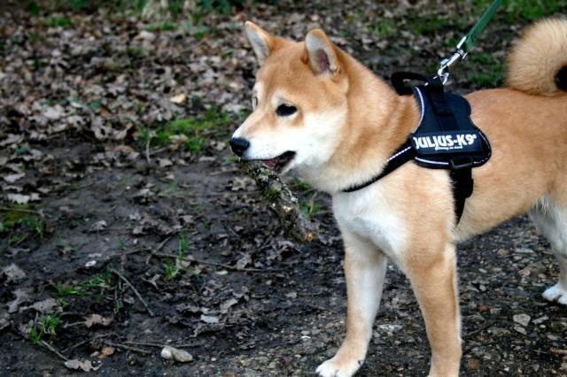 shiba_inu_fox_blogueuse_10