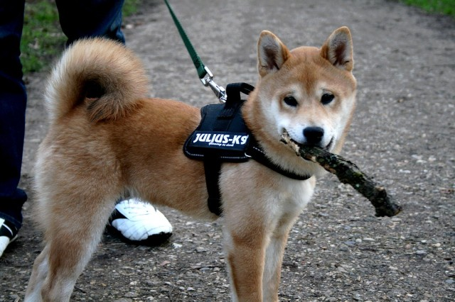 shiba_inu_fox_blogueuse_11
